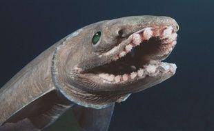 Video portugal un requin l zard 300 dents d couvert - Poisson moche ...