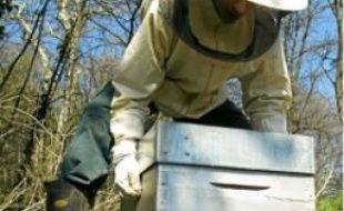 Les apiculteurs redoutent le Mon810.