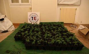 Les plants de cannabis saisis
