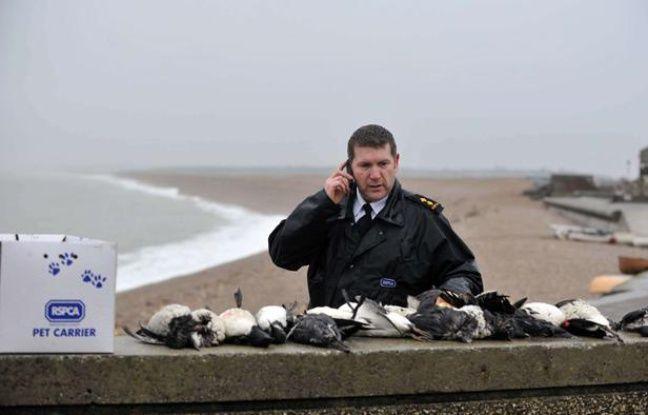 Des oiseaux retrouvés englués dans une huile non identifiée, sur la plage de Chesil, en Angleterre, le 1er février 2013.