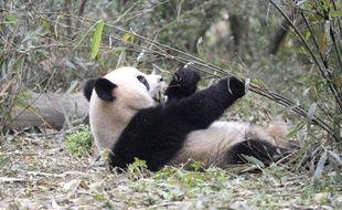 Le zoo français de Beauval (centre) a signé samedi à Pékin avec l'Association chinoise des jardins zoologiques un accord pour recevoir un couple de pandas géants pendant dix ans.