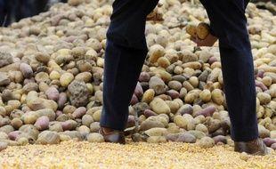 Le groupe de chimie allemand BASF a annoncé lundi avoir demandé l'autorisation européenne de cultiver à des fins commerciales la première pomme de terre génétiquement modifiée (OGM) destinée avant tout à l'alimentation humaine, baptisée Fortuna.