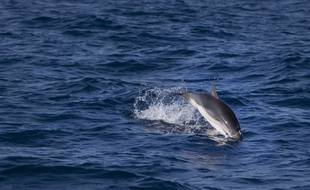 Un dauphin en mer Méditerranée.