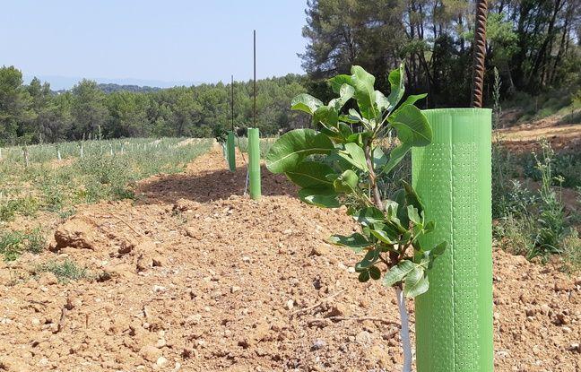 Le pistachier est un arbuste qui résiste à de fortes chaleurs.