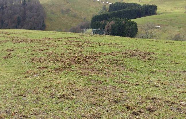 Des dégâts de sangliers sur les 35 hectares de Vincent Minoux, producteur de Munster.