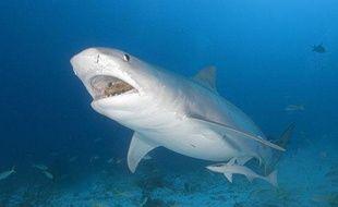 Un requin tigre au large des Bahamas, le 3 novembre 2010.