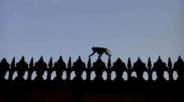 Trump sera protégé des attaques de singes pendant sa visite du Taj Mahal