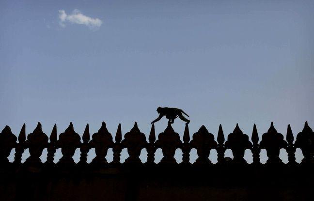 Inde: Donald Trump sera protégé des attaques de singes pendant sa visite du Taj Mahal