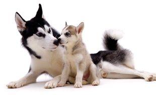 Des chiens Husky (illustration).