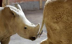 Un bébé rhinocéros blanc et sa mère au zoo de Budapest