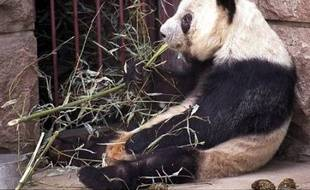 L'année dernière il s'en était pris à un homme saoûl trop entreprenant, cette année Gu Gu, l'un des pandas vedettes du zoo de Pékin, a mordu un jeune admirateur de 15 ans, rapporte mardi Les Nouvelles de Pékin.
