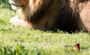 Charly, le lion de 18 ans du zoo de Plaisance-du-Touch, est mort en début de semaine.