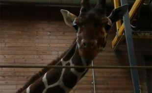 Ce girafon a été euthanasié dimanche 9 février au zoo de Copenhague.