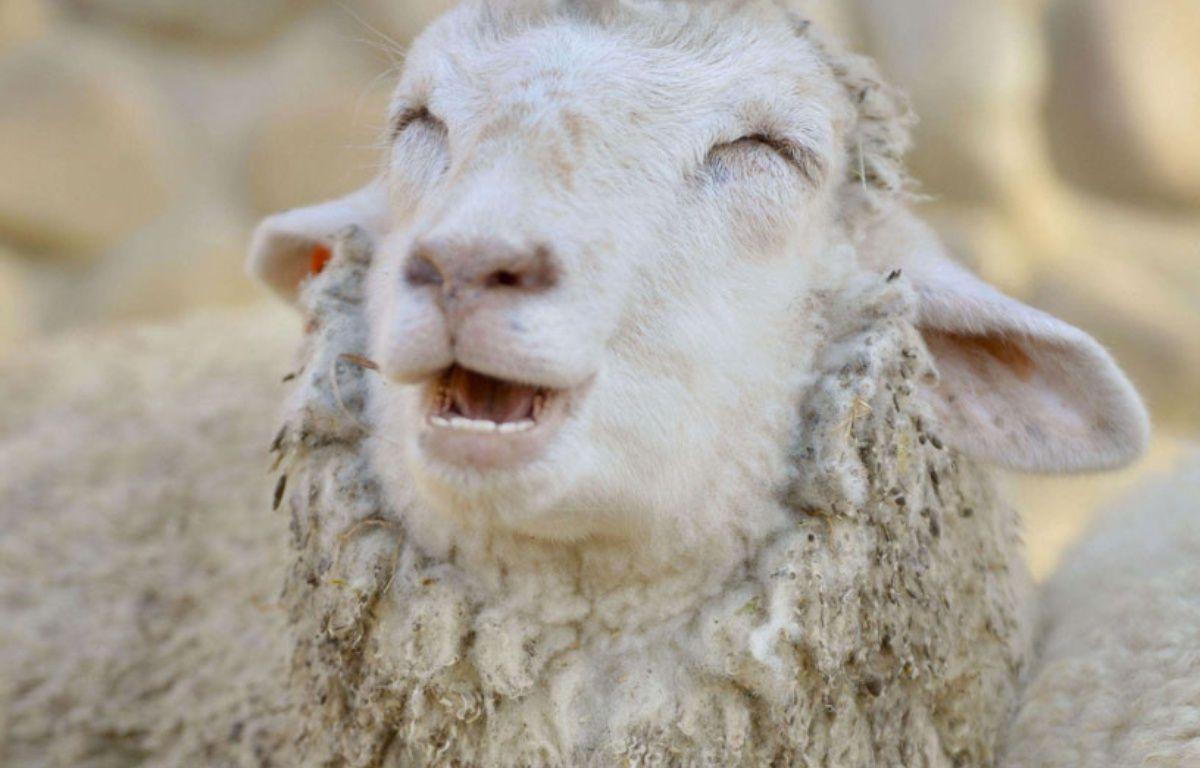 Ce mouton vit au Japon à Kobe et sourit tout le temps. – KYODOWC/NEWSCOM/SIPA