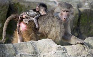 Un babouin et son petit. (Illustration)