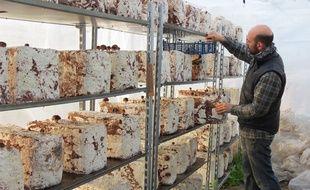Romain Redais surveille sa culture de champignons shiitakés.