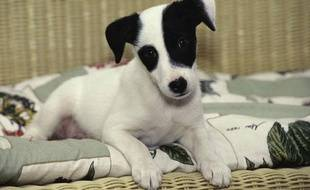 Photo d'illustration: Un Jack Russell Terrier.