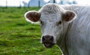 Image d'illustration d'une vache dans un pré.