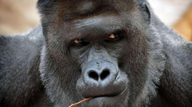 RDC : Mugaruka, le célèbre gorille de 35 ans du parc Kahuzi-Biega, est décédé