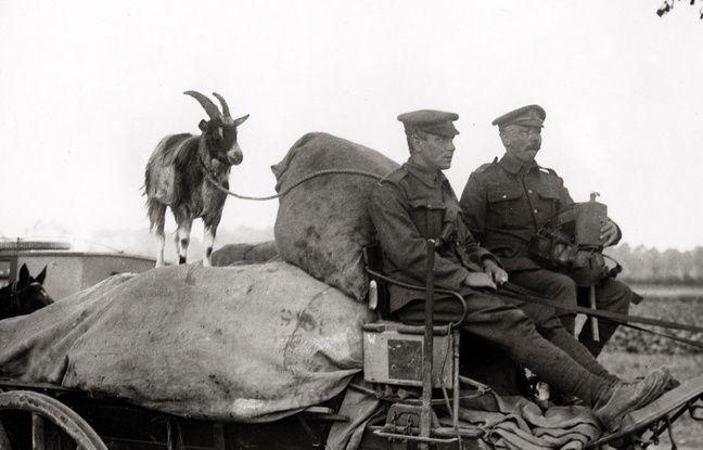 Une chèvre avec des soldats britanniques lors de la Première Guerre mondiale.