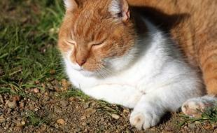 Le chat a été retrouvé avec une flèche de 88 centimètres dans le dos. (illustration)