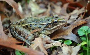 Cette espèce de grenouille léopard a été découverte à New York, dans le quartier de Staten Island.