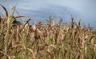A Roppenheim, dans l'est de la France, ce champ de maïs est impacté par la sécheresse qui sévit depuis plusieurs semaines.