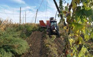 L'arracheuse du tracteur au travail pour couper les grosses lianes lors de la récolte du houblon en Alsace.