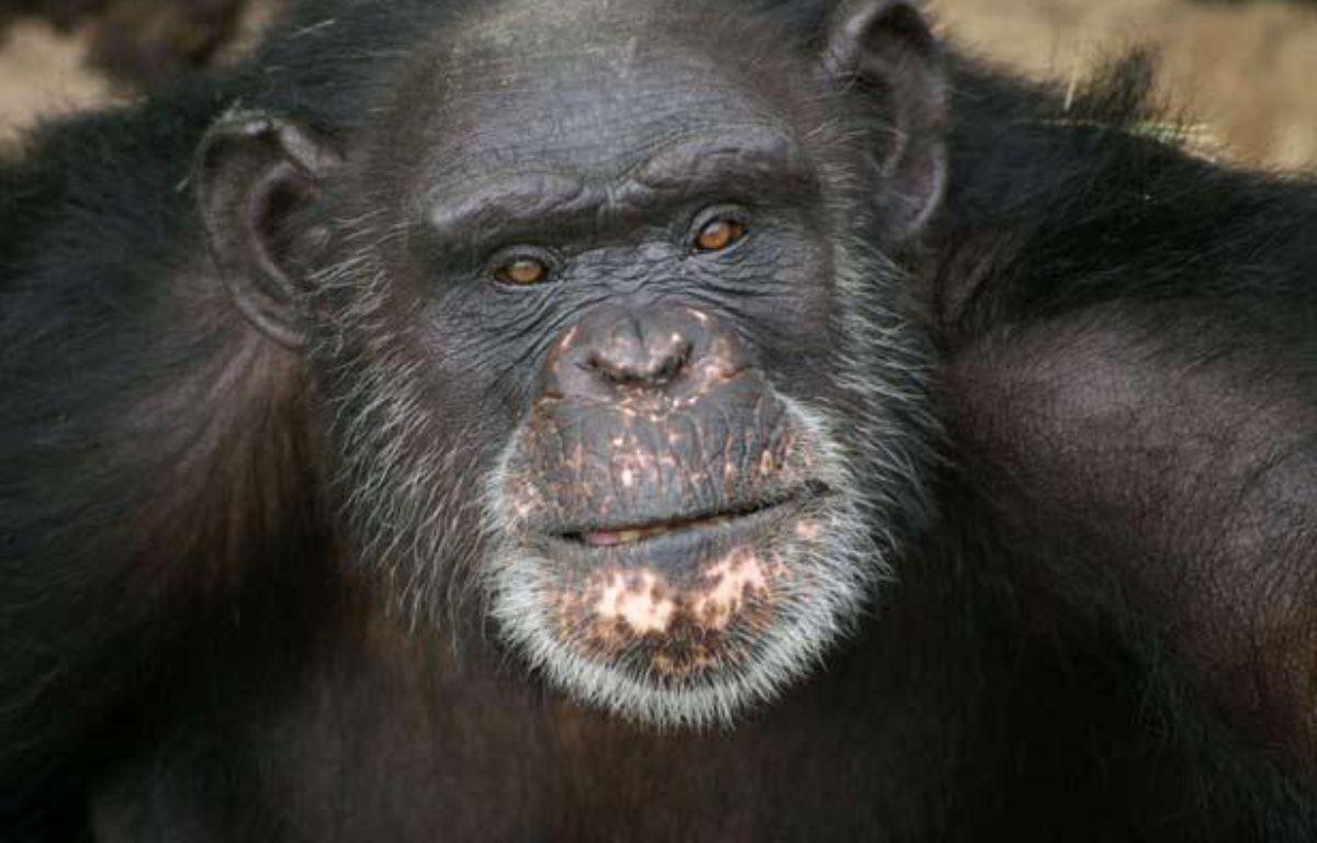 Brent, 37 ans, le chimpanzé pensionnaire du refuge Chimp Haven de Keithville, en Louisiane, qui peint avec sa langue.  – AP Photo/Chimp Haven, Inc.