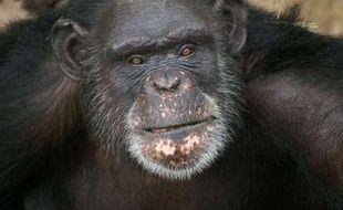 Brent, 37 ans, le chimpanzé pensionnaire du refuge Chimp Haven de Keithville, en Louisiane, qui peint avec sa langue.