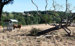 A cause de la sécheresse, cette année, i n'y a plus d'herbes dans les pâturages pour les bovins. Charente Saint Sulpice, France-