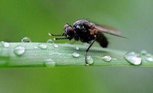 Chez les mouches drosophiles, les mâles repoussés sexuellement par les femelles sombrent dans l'alcool, comme certains hommes le font pour oublier, révèle jeudi une recherche parue dans la revue américaine Science.