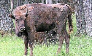 Le parc compte 45 bisons d'Europe.