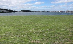 L'anse de Zanflamme, à Larmor Plage, est tapissée d'algues vertes en ce printemps 2020.