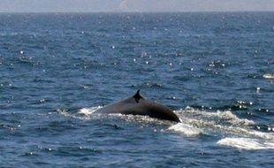Une baleine bleue. Photo d'illustration.
