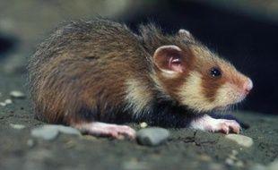 """La situation du grand hamster d'Alsace, une espèce en voie d'extinction qui a valu à la France des poursuites devant la Cour européenne de justice, reste très critique malgré une """"stabilisation"""" du nombre de terriers recensés, ont estimé vendredi des scientifiques et défenseurs de l'environnement."""
