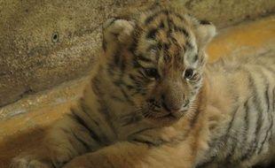 Un des bébés tigres de Sibérie nés au zoo de la Citadelle de Besançon.