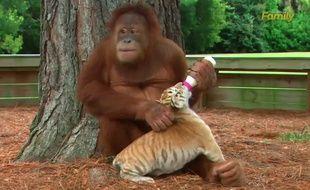 Une femelle orang-outan donne le biberon à un bébé tigre