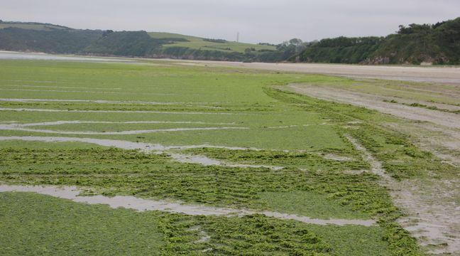 Bretagne : Une prolifération « très importante » des algues vertes constatée cette année