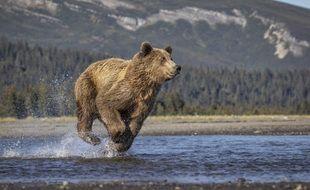 Un ours brun se débat pour attraper un poisson, dans le sud-ouest de l'Alaska, aux Etats-Unis.
