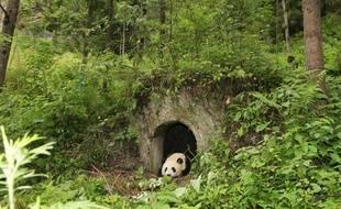Une femelle panda a donné naissance à un petit dans le centre de réintroduction dans la nature de Wolong, en Chine.