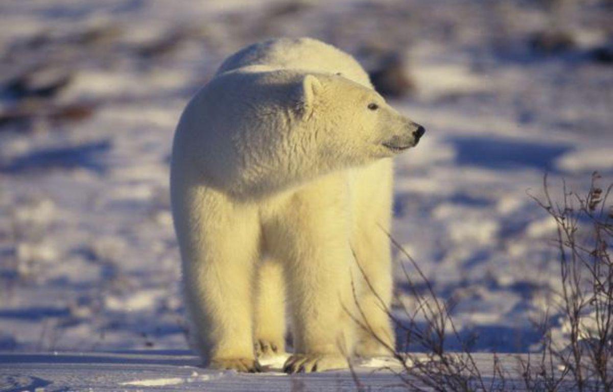 Un ours polaire au Canada. – SIPA