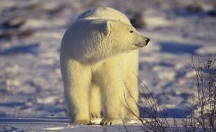 Un ours polaire au Canada.