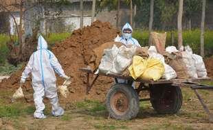 Des cadavres de volailles contaminées par la grippe aviaire sont détruits en Inde le 22 janvier 2021