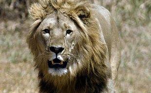 A peine 250 lions adultes vivent encore dans toute l'Afrique de l'ouest, ce qui fait peser de lourdes craintes quant à la survie de leur espèce, a indiqué à l'AFP un cadre de l'ONG Panthera, en charge de leur comptage.