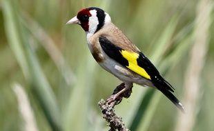 Le chardonneret élégant, une espèce d'oiseau protégée.
