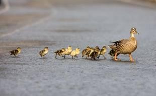 Illustration d'une famille de canards traversant une route