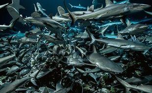 Jusqu'à 700 requins gris se retrouvent en juin dans la passe sud de l'atoll de Fakarava.