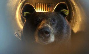 Lâcher de l'ours Sorita dans le Béarn en octobre 2018.