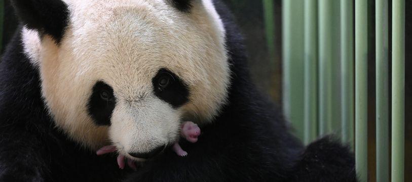 La maman panda Huan Huan avec son bébé tout juste né le 2 aout 2021 au Zoo de Beauval.